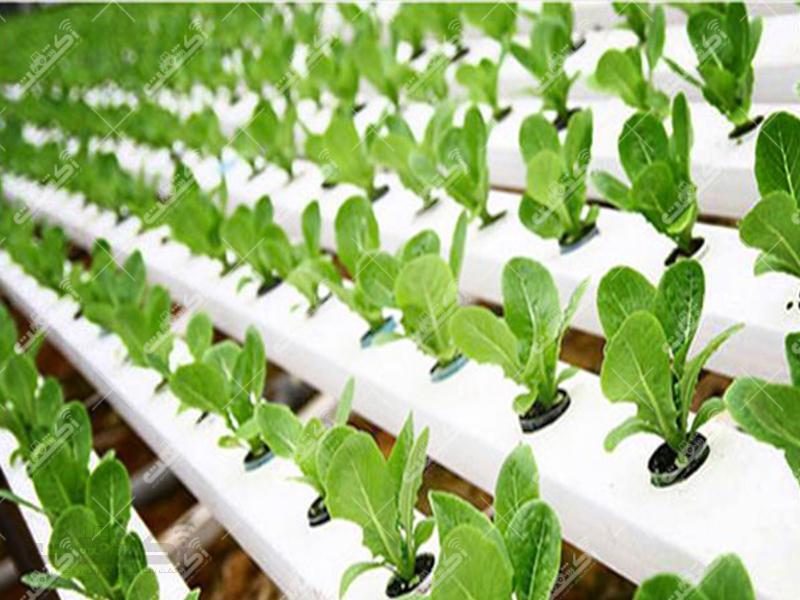 تولیدکننده انواع نشاء هیدروپونیک سبزیجات صیفی جات و گل