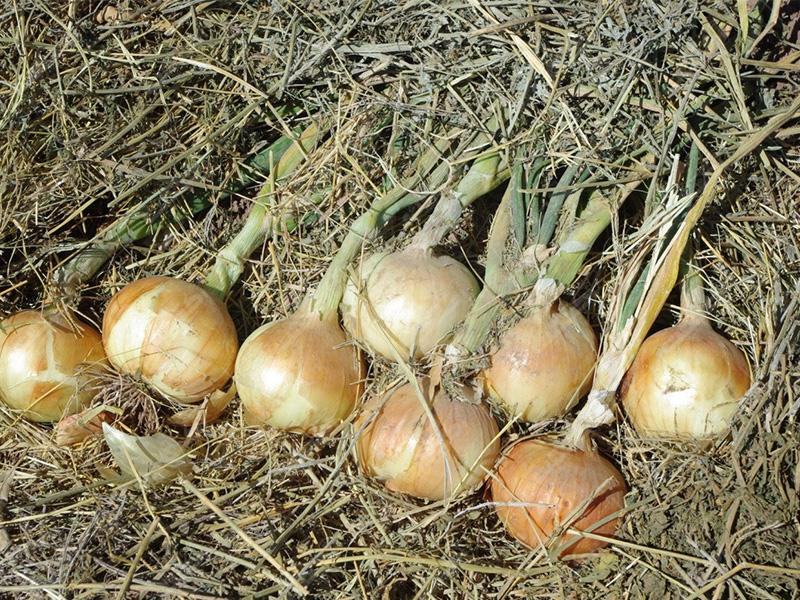 بذر پیاز هیبرید اوریندا