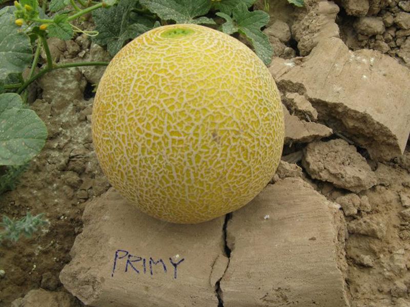 بذر خربزه هیبرید پرایمی