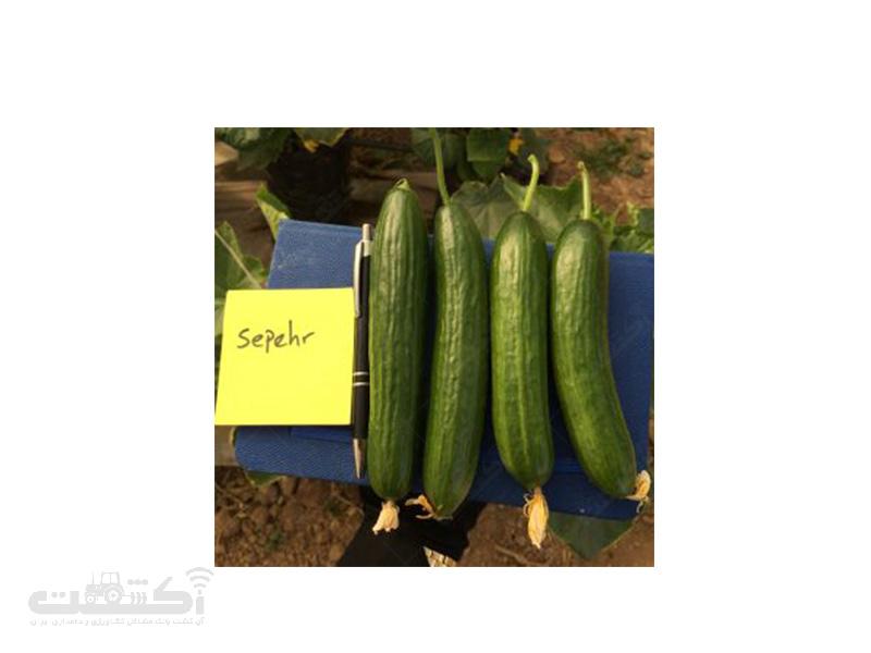 بذر خیار گلخانه ای هیبرید سپهر