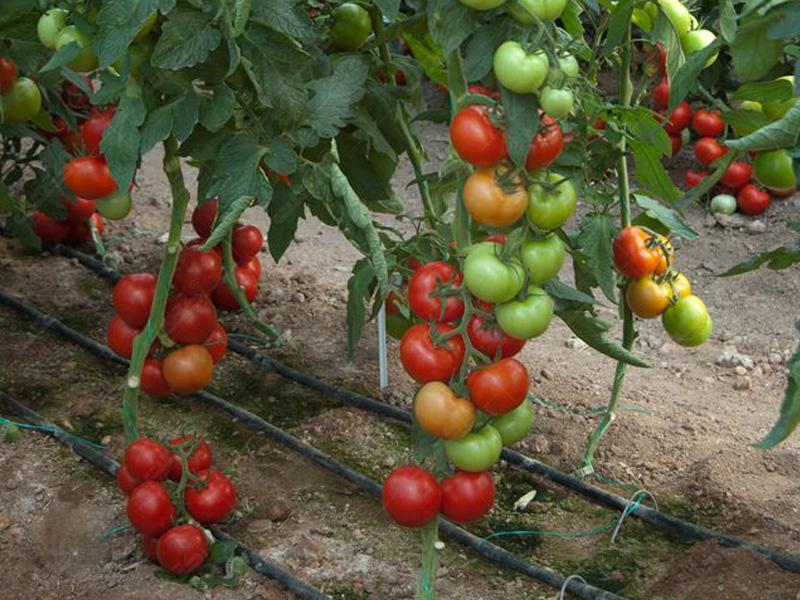 بذر گوجه فرنگی آذین