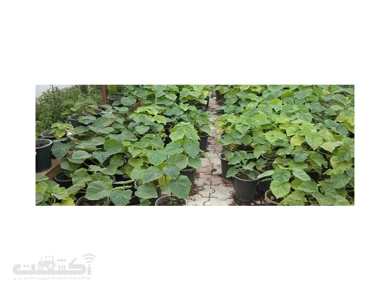 گیاهچه های درخت پالونیا