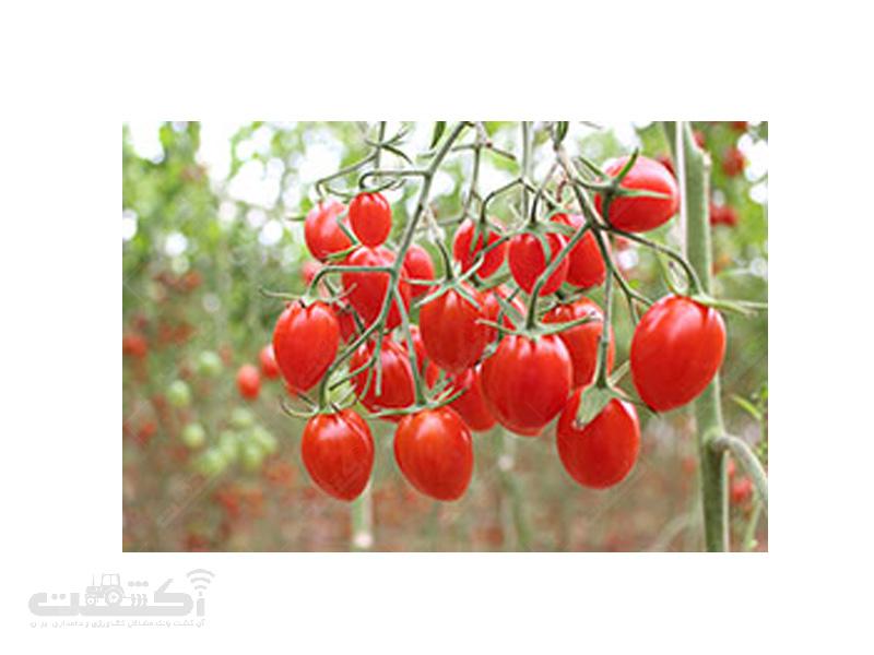 بذر گوجه فرنگی زیتونی