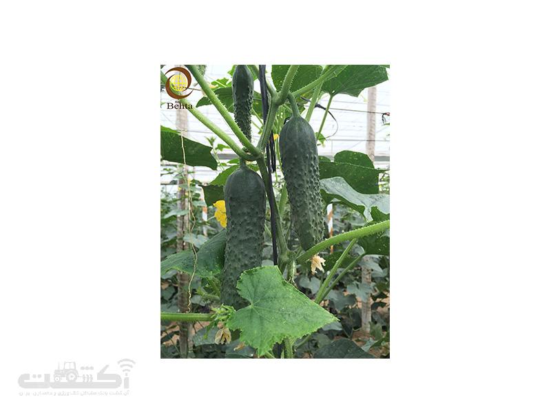 بذر خیار خاردار رومینا
