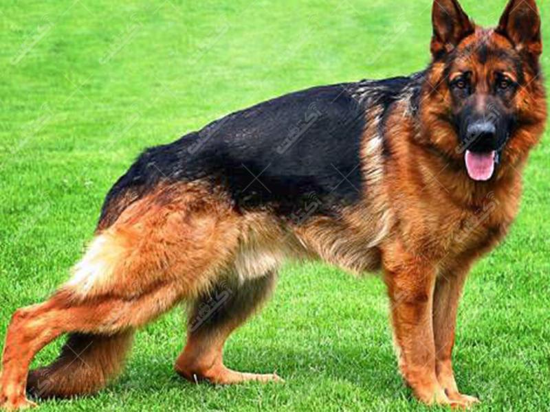 فروش دائمی سگ های گارد