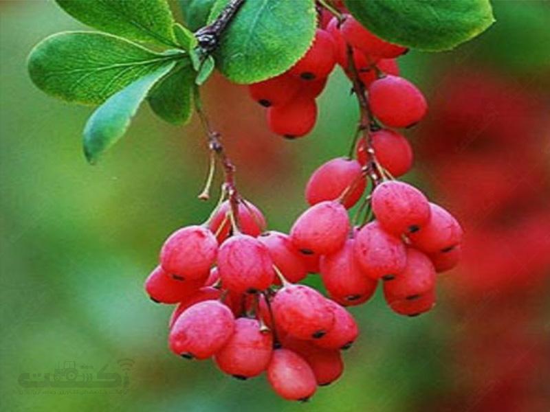 تولید و فروش نهال درخت زرشک زالزالکی