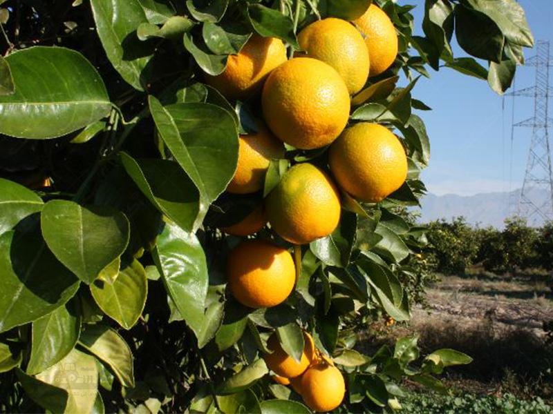 تولید پرتقال والنسیا