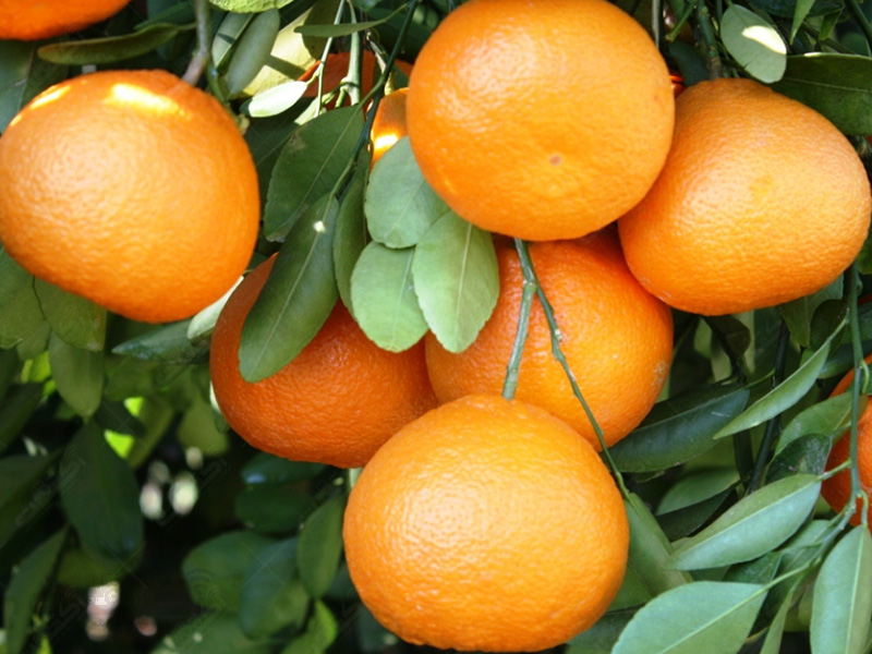 تولید نارنگی کینو