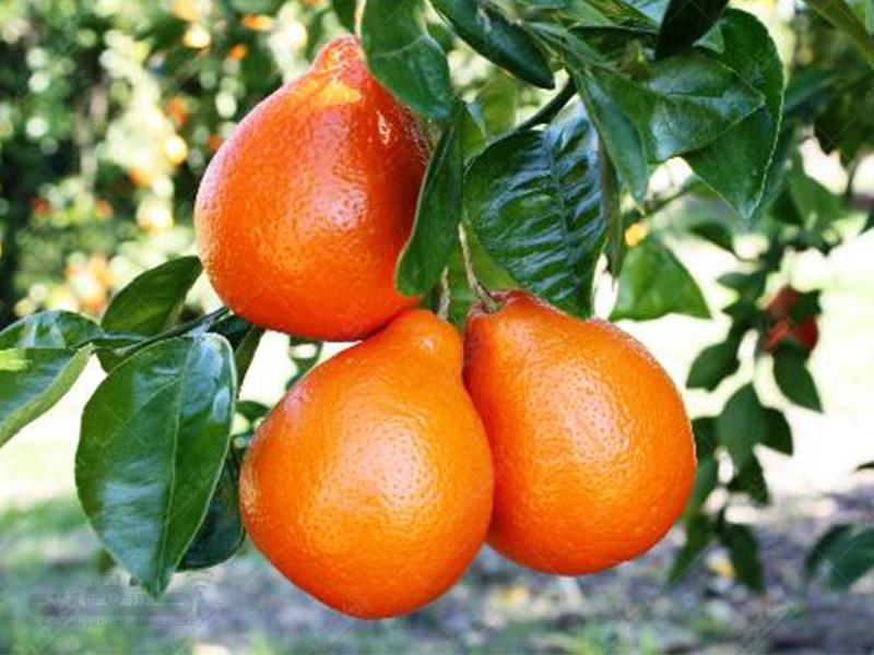 تولید نارنگی مينولاتانجلو