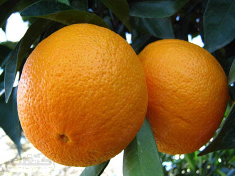 تولید پرتقال واشنگتن ناول