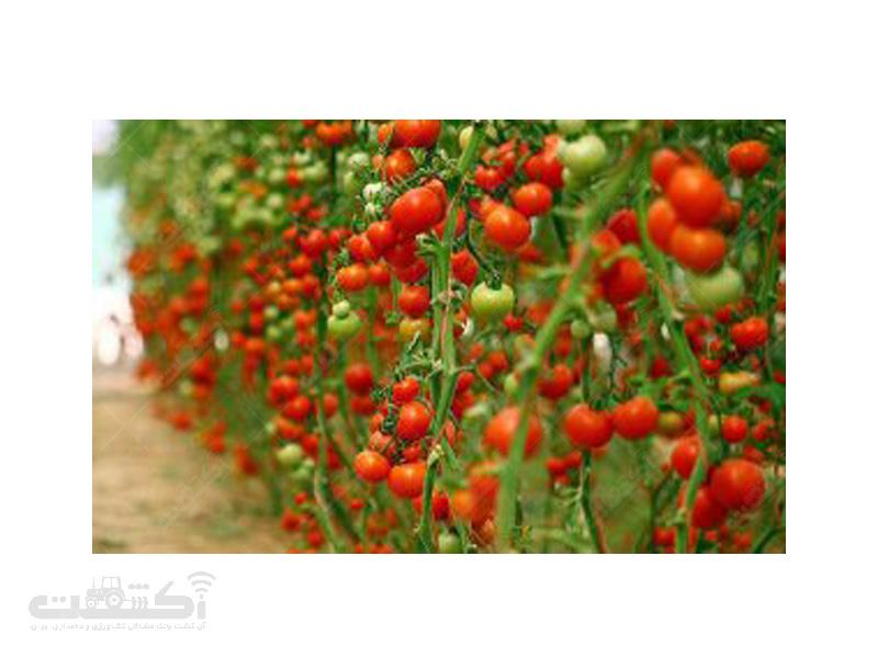 تولید نشا گوجه فرنگی گلخانه ای