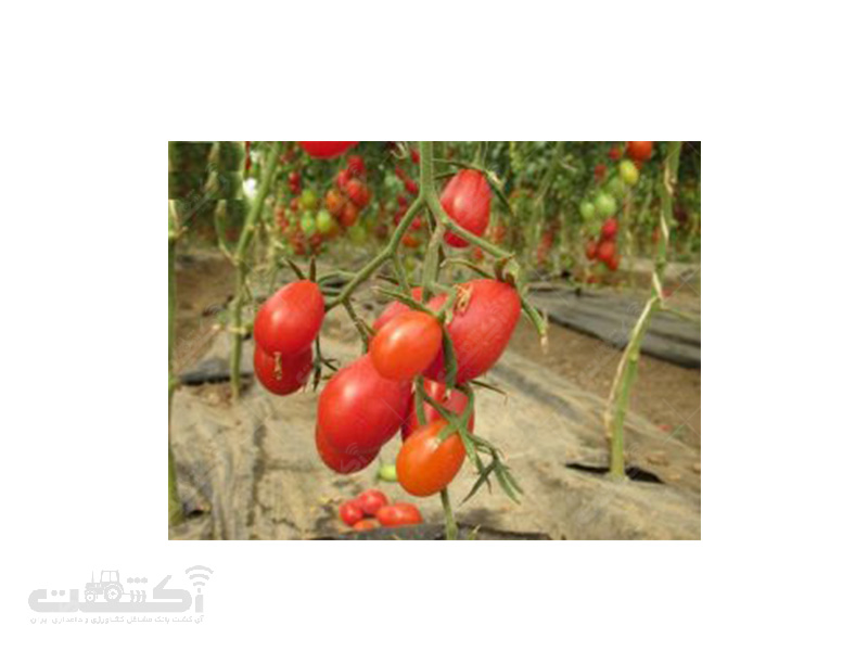 تولید و فروش نشا گوجه زینتی(چری)