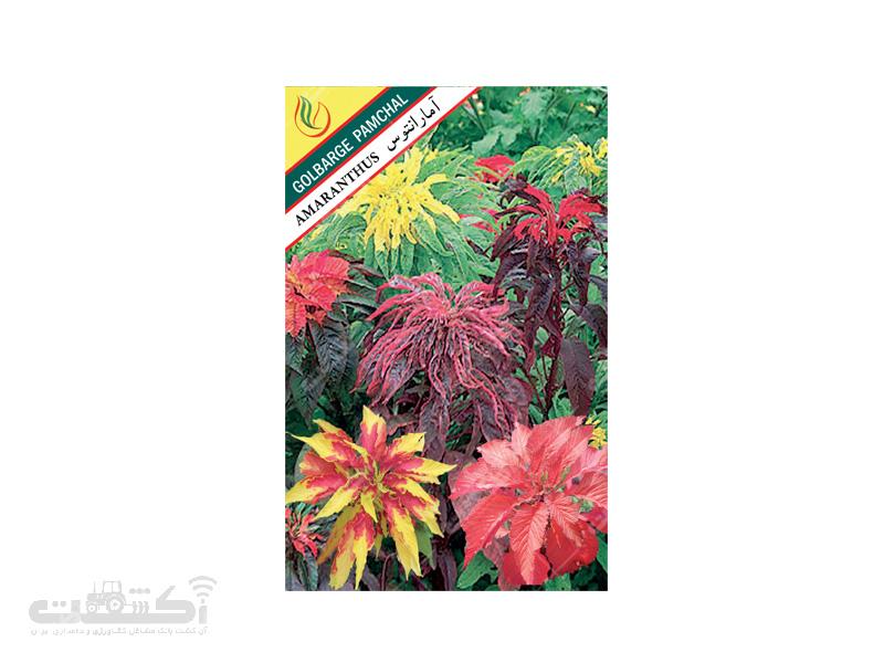 تولید و فروش بذر گل زینتی آمارانتوس قرمز