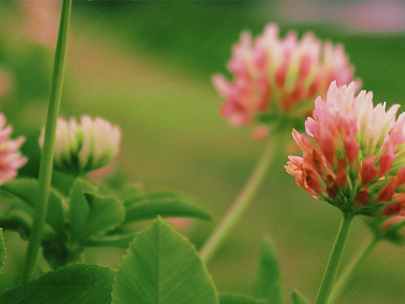 تولید گیاه علوفه ای شبدر