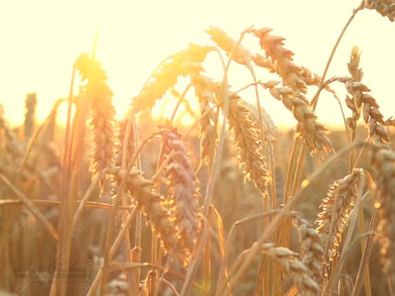 تولید گندم