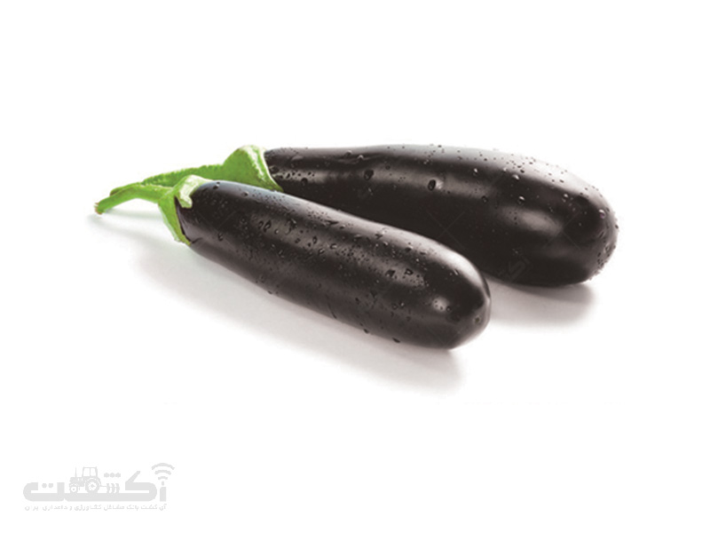 فروش بذر بادمجان هیبرید کلاسیک