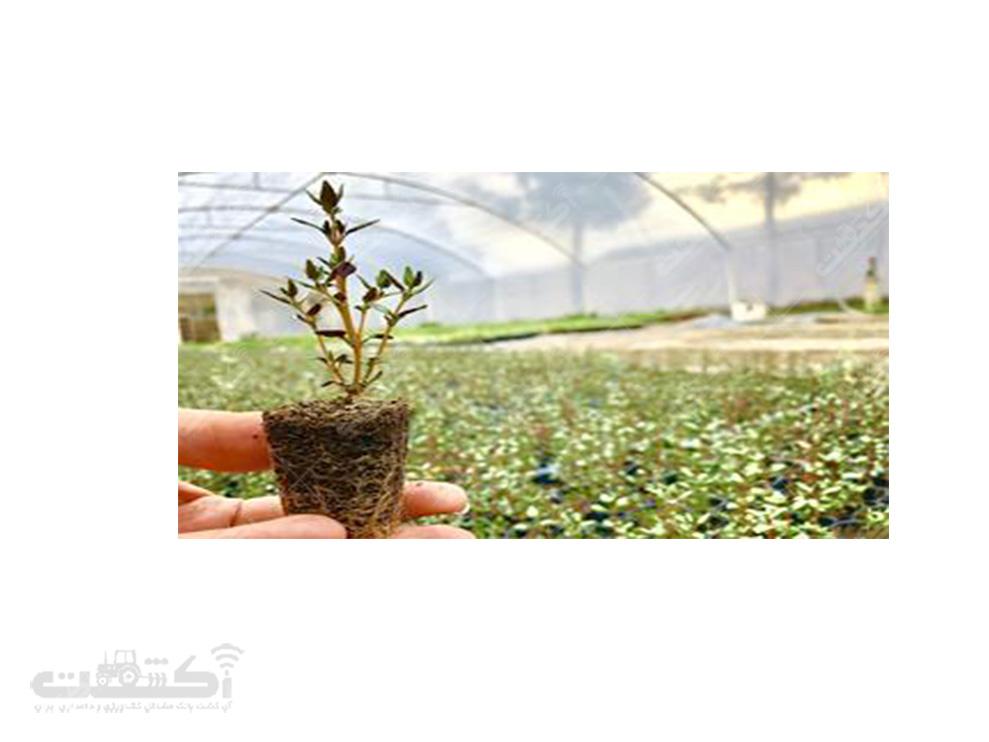 فروش نشا و بذر گل گاوزبان با کیفیت عالی