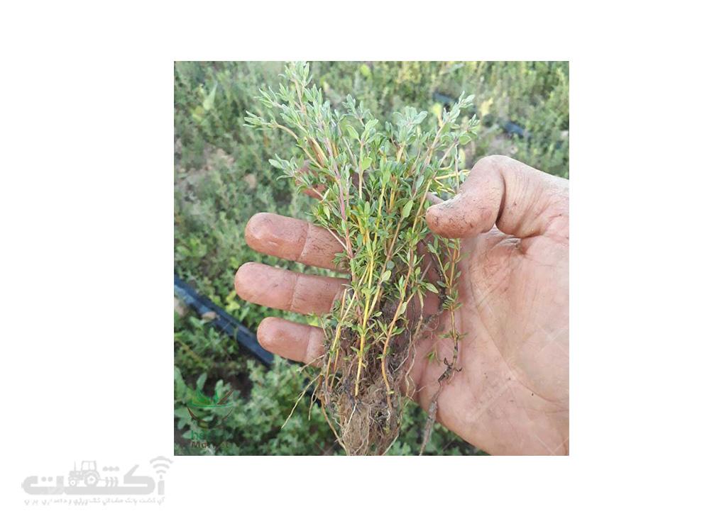 فروش نشا و بذر آویشن باغی با کیفیت عالی