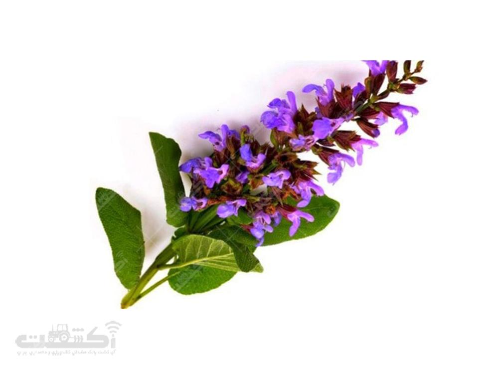 فروش نشاء و بذر مریم گلی با کیفیت عالی