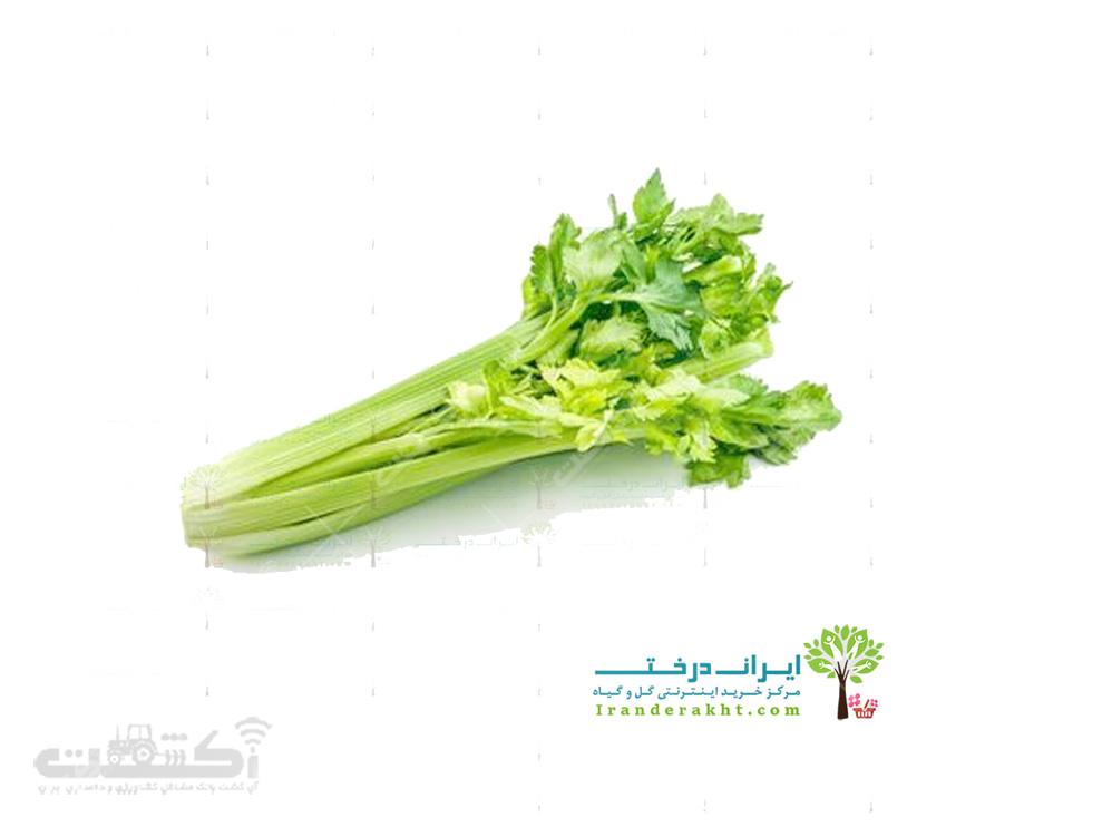 فروش بذر کرفس اصفهانی