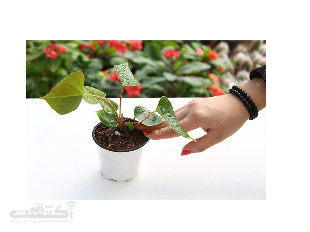 فروش نشای گل آنتوریوم