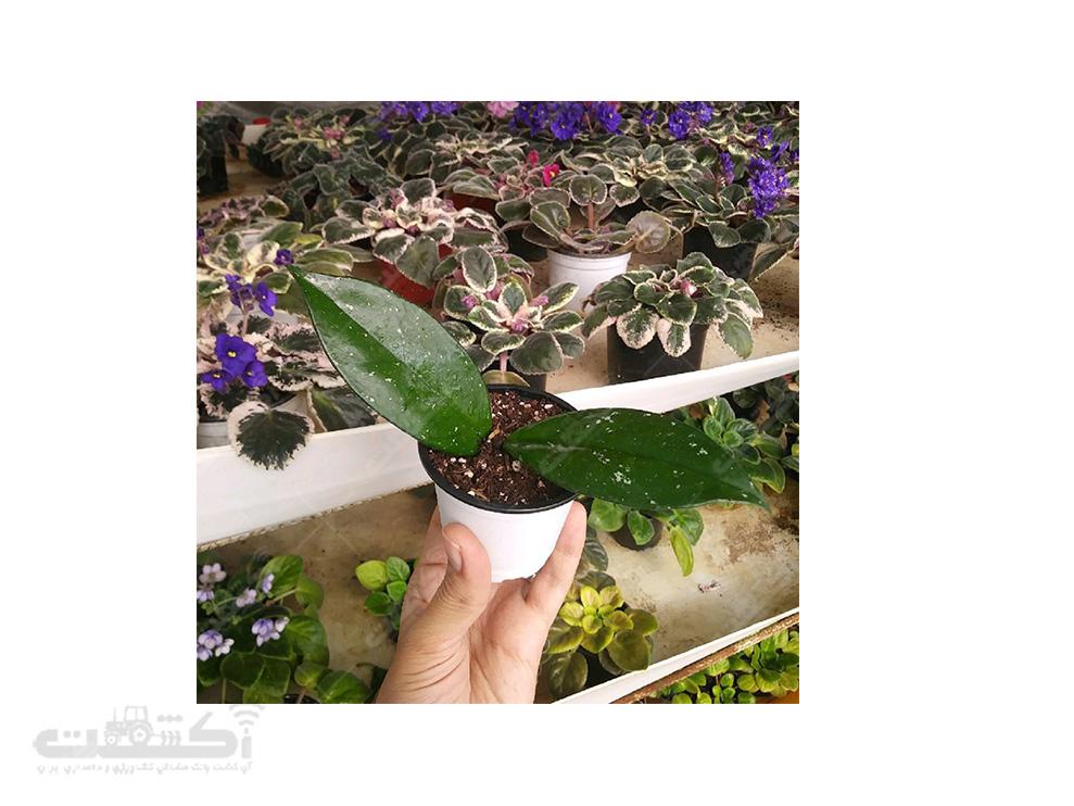 فروش نشای گیاه هویا