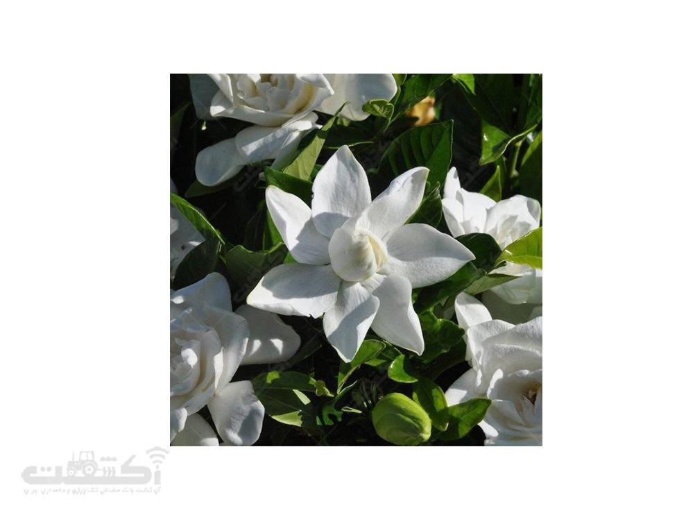 فروش گل گاردنیا