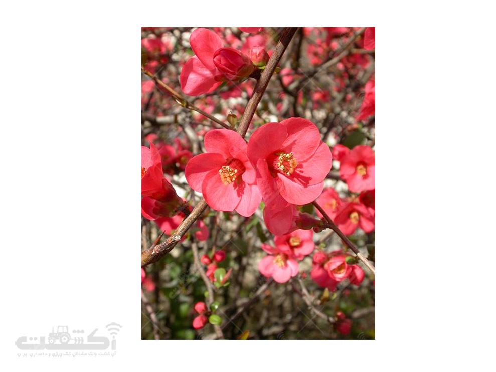 فروش درختچه به ژاپنی