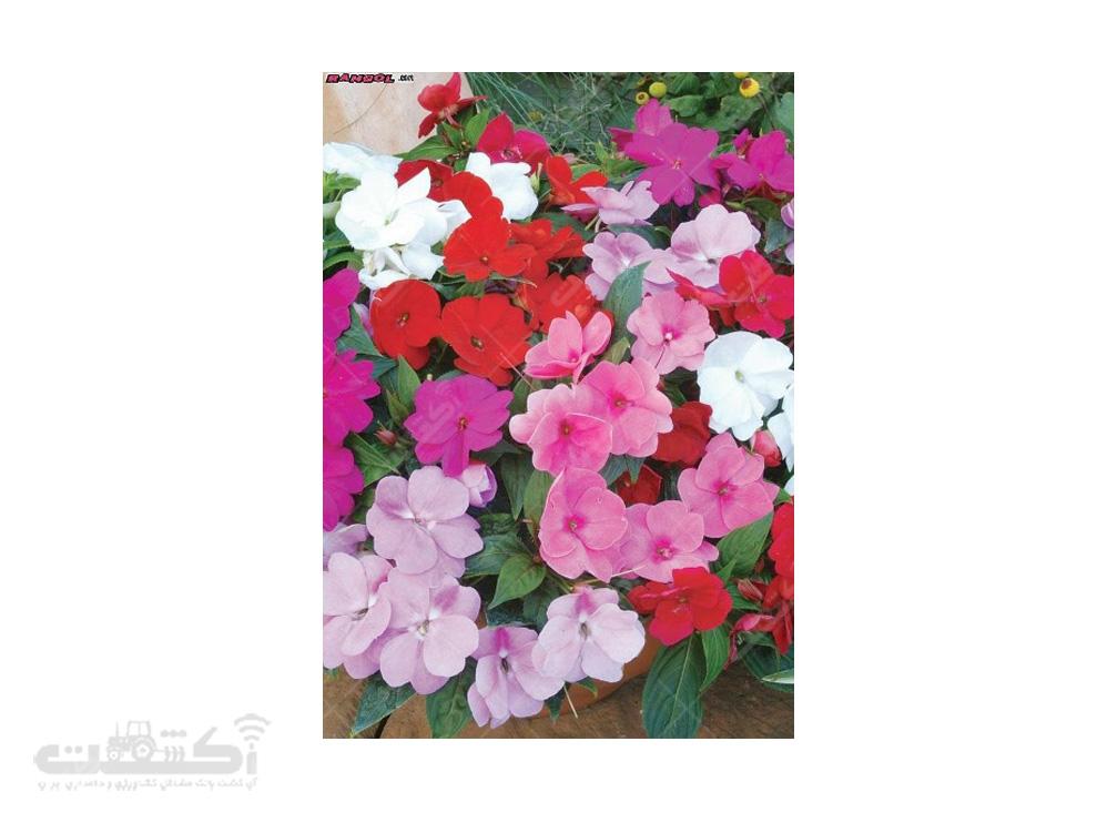 فروش بذر گل حنا