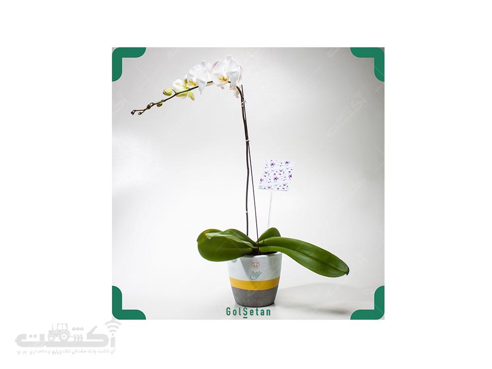 فروش گل ارکیده فالانوپسیس سفید زرد