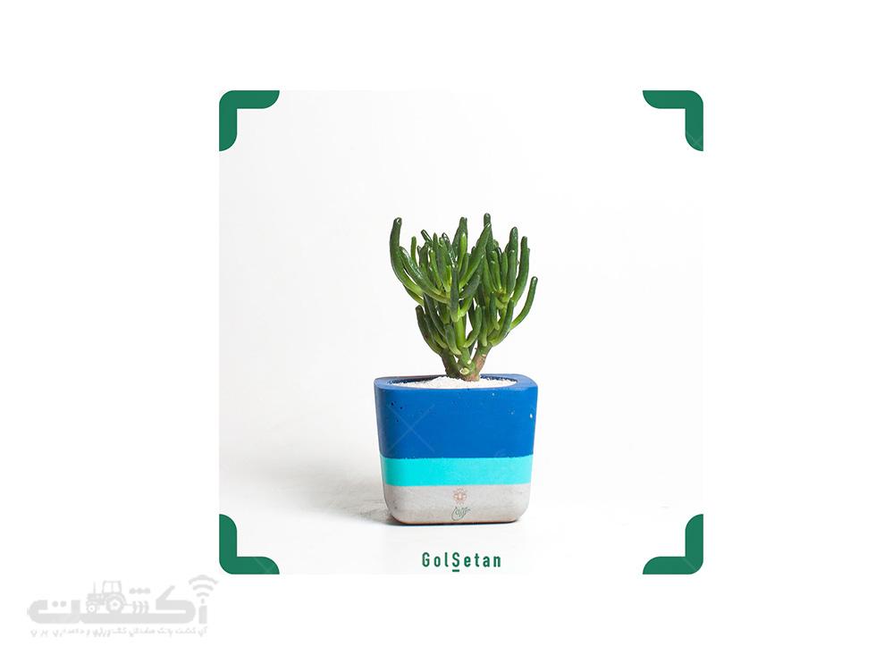 فروش گل کراسولا پافیلی