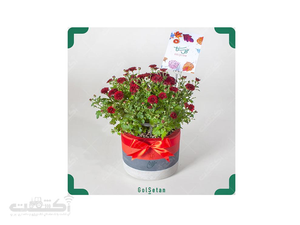 فروش گل داوودی