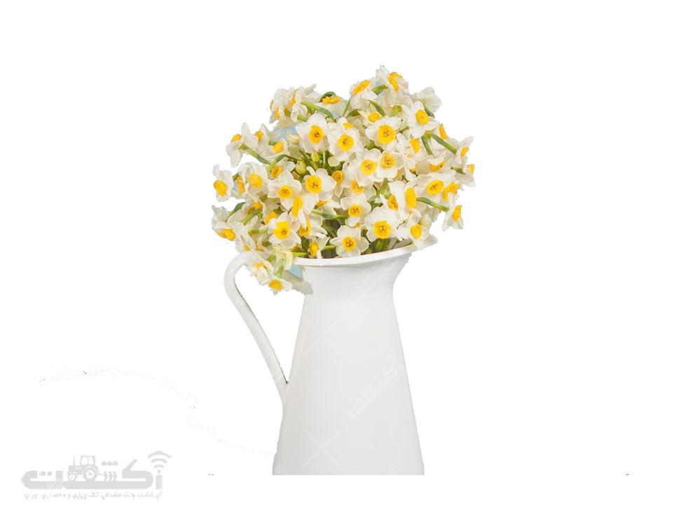 فروش گل نرگس شیراز