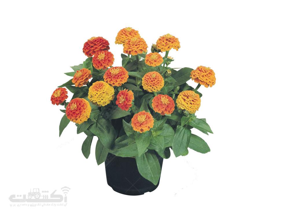 فروش گل آهار