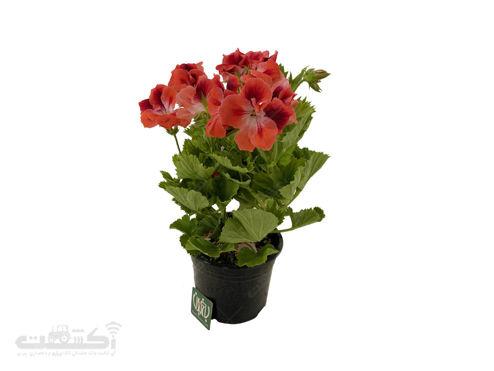 فروش گل شمعدانی اژدر