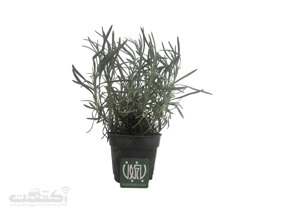 فروش گیاه فضای باز اسطوخودوس