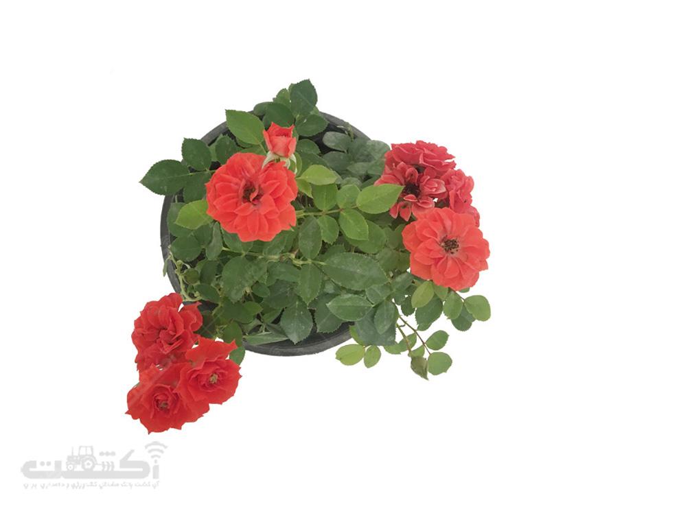 فروش گل رز مینیاتوری (ساناز)