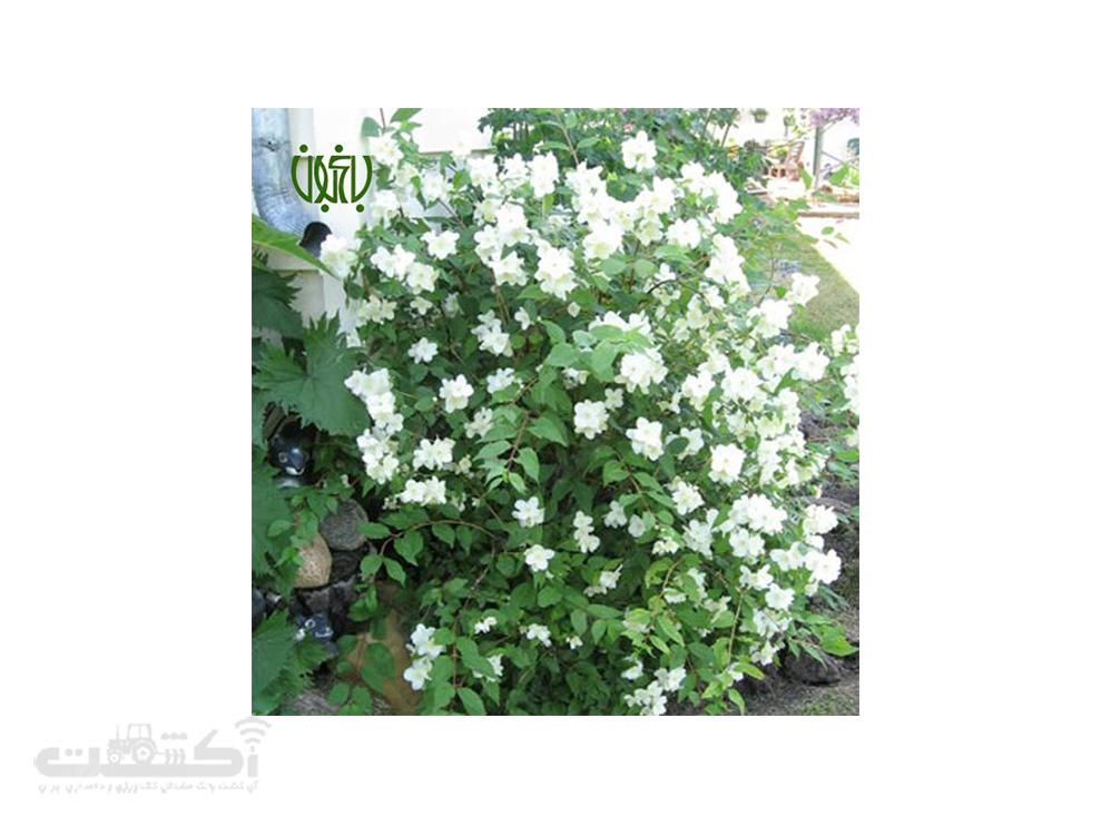 فروش گل نرگس درختی