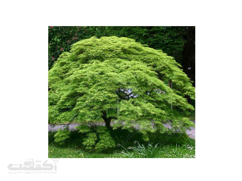 فروش درختچه افرا مجنون سبز