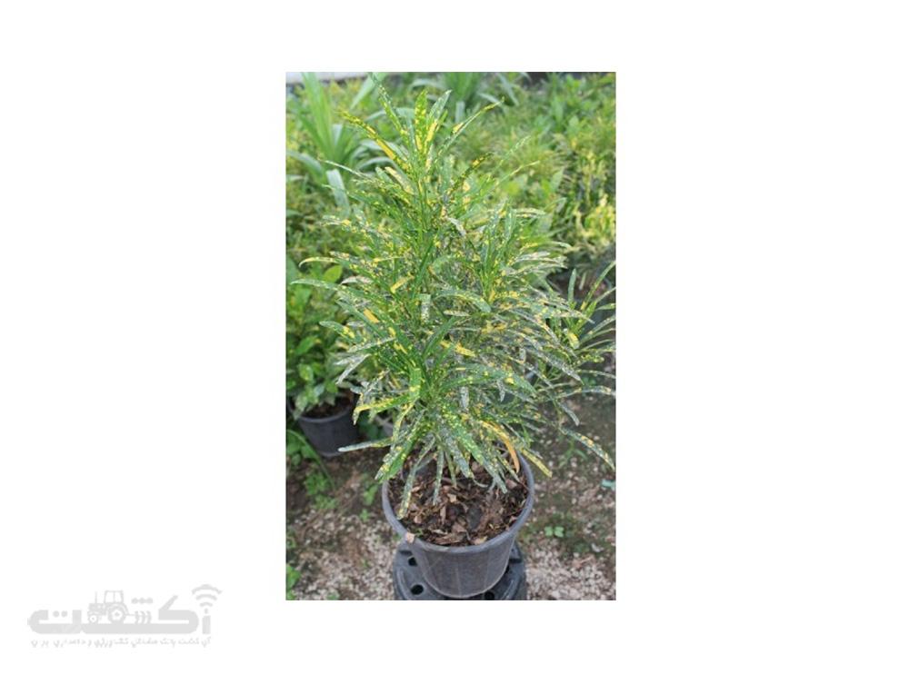 فروش گیاه آکوبا طلایی