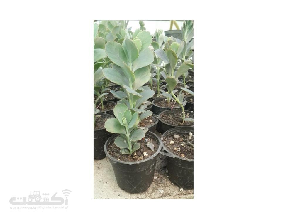 فروش گیاه کالانکوئه (گل اشک)