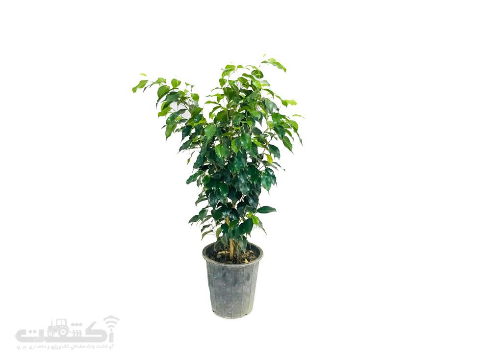 فروش گیاه بنجامین سبز