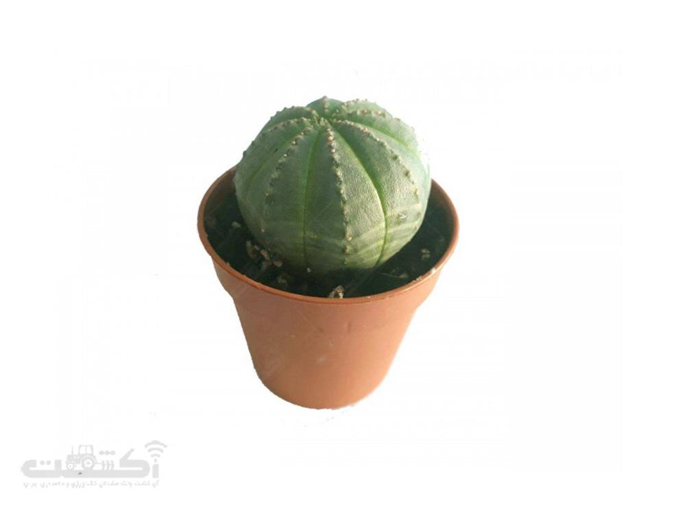 فروش گیاه افوربیا اوبسا