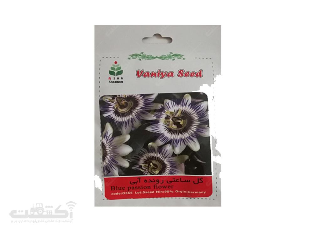 فروش بذر گل ساعتی رونده آبی