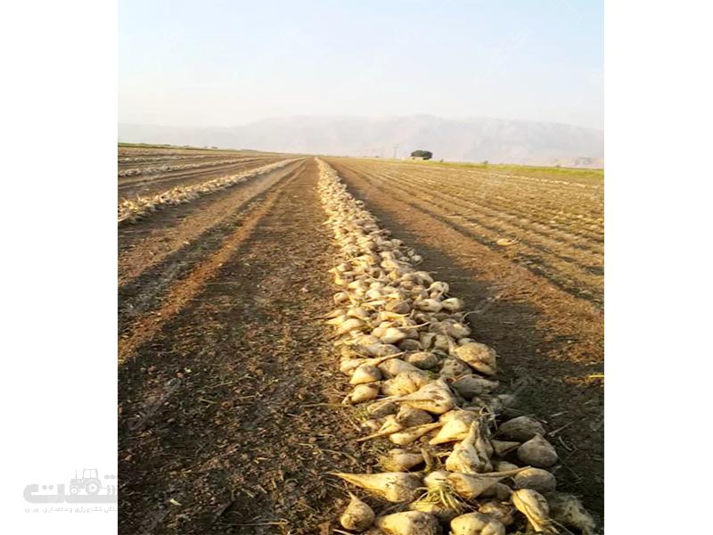 فروش بذر چغندر درجه یک