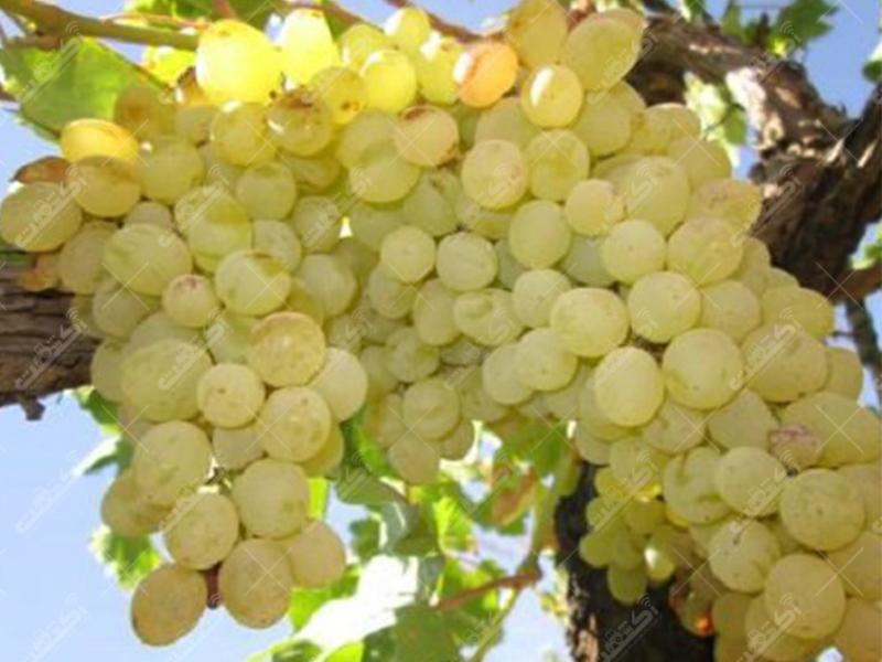 تولید و فروش بهترین انواع نهال میوه و زینتی در نهالستان آذربایجان