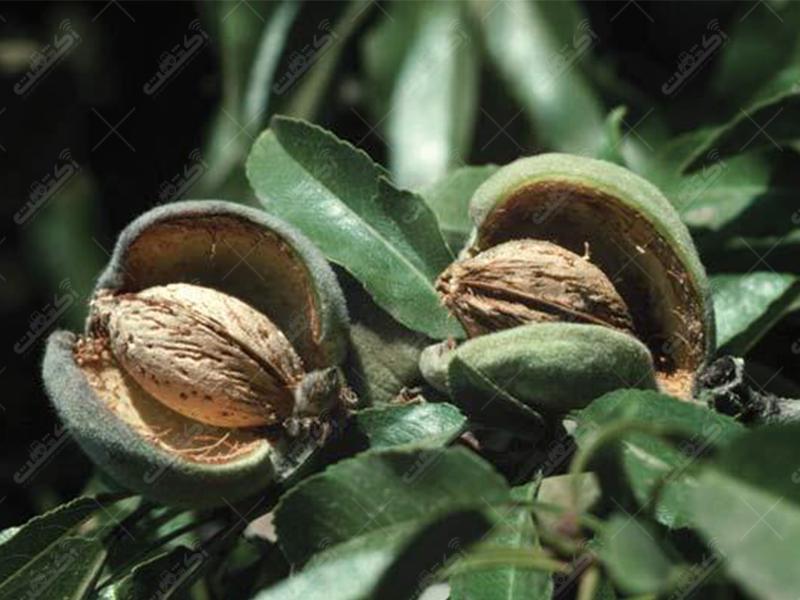 انواع نهال اصلاح شده بادام گلابی آلو هلو