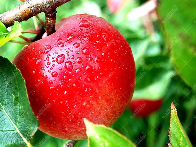 انواع نهال سیب پاکوتاه