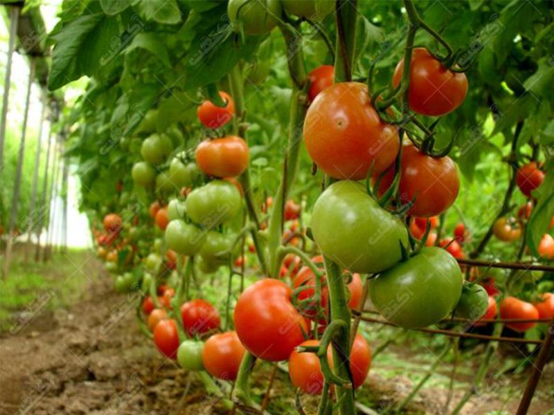 شرکت تعاونی کشاورزی تولیدکنندگان محصولات گلخانه ای سمنان