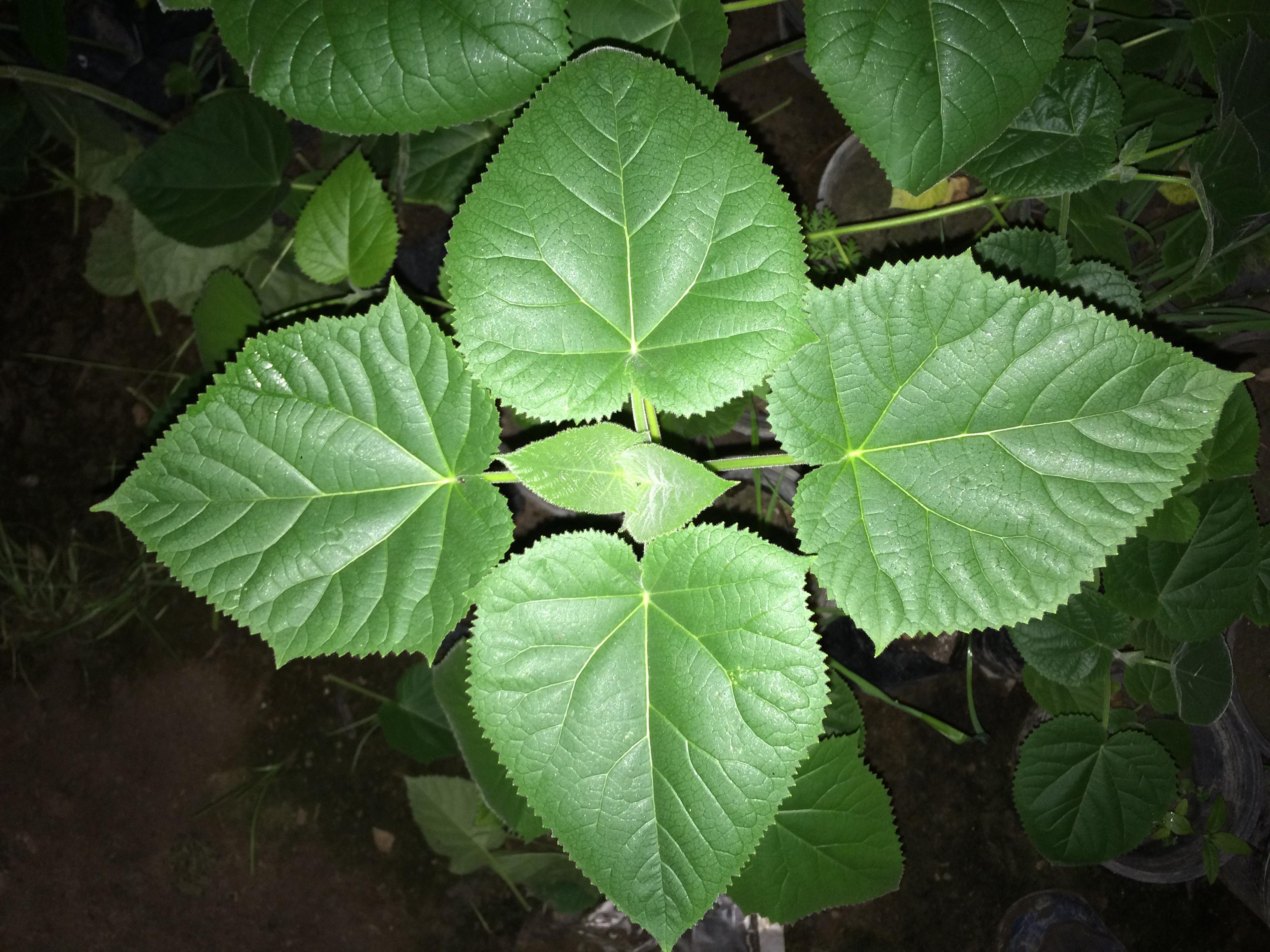 نهال قلمه ریشه پالونیا